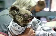 بیمارستان کوالاها؛ تلاش برای پرورش و نجات حیوانات از آتش سوزیهای استرالیا