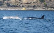 مشاهده یک نهنگ قاتل سفید نادر در آبهای جنوب شرقی آلاسکا